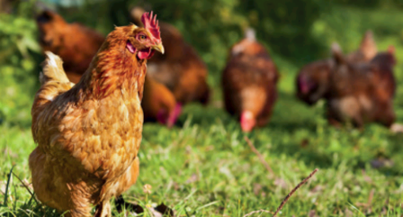 How To Start A Free-Range Chicken Farming Successfully