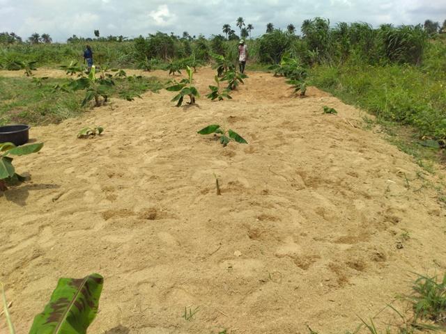 plantain farm with sawdust mulch