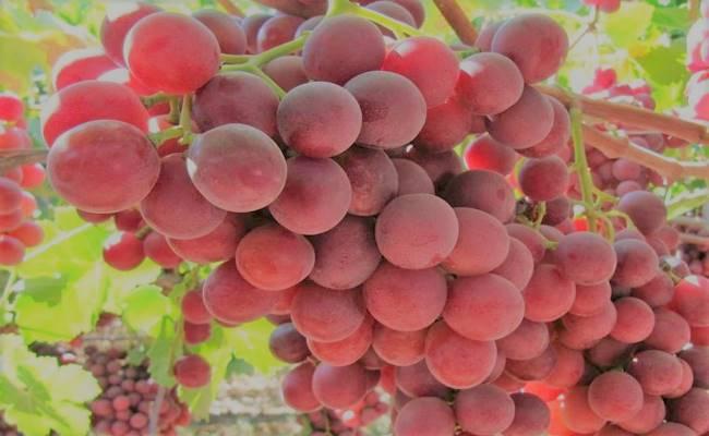 Best Fertilizer For Grape Vines: Nutrient Requirements & Application