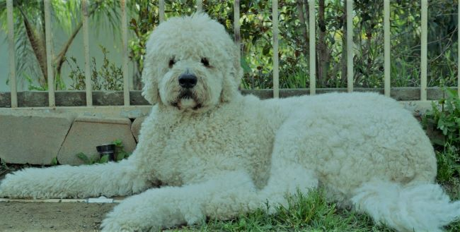 Six (6) Intelligent Dog Breeds Mixed With Poodle