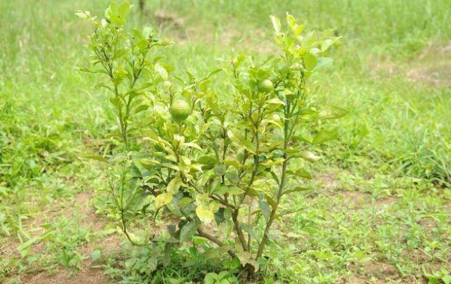Best Nitrogen Fertilizer For Citrus Trees: Requirement & Application