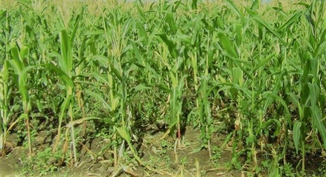 Best Organic Fertilizer For Corn