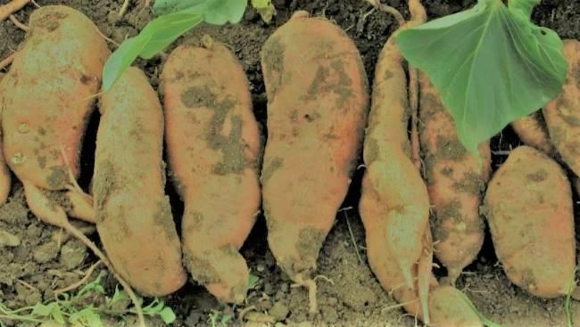 best fertilizer for potato