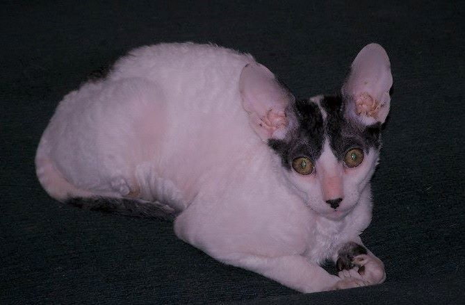 Traits & Demystified Facts Of Cornish Rex Hypoallergenic Cats
