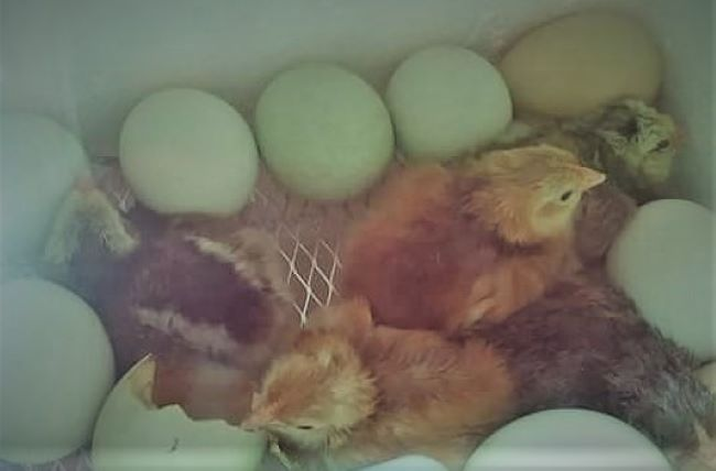 Five Expert Tips For Successful Hatching Chicken Eggs