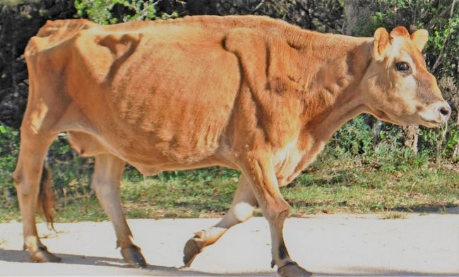 Eight Characteristics That Makes Jersey Cow Profitable to Rear