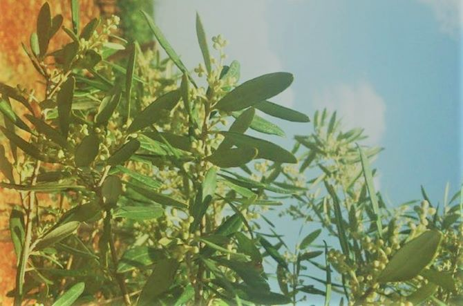 Best Companion Plant For Olive Tree