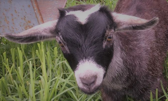 Guide On Worming Pygmy Goats: Adults, Pregnant Goats & Babies